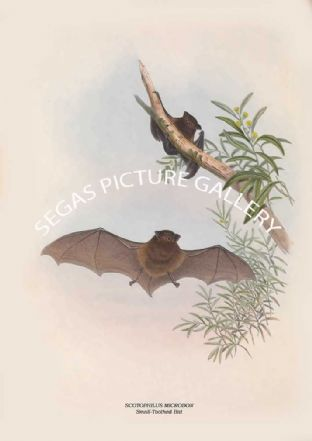 SCOTOPHILUS MICRODON - Small-Toothed Bat